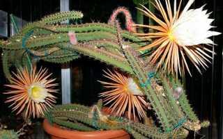 Цветок царица ночи, кактус селеницереус: фото – крупноцветковый (selenicereus grandiflorus), хризокардиум, validus, anthonyanus