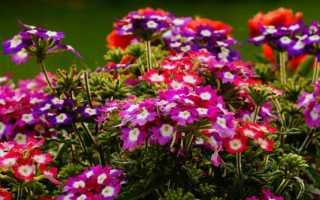 Вербена – выращивание из семян: когда сажать, посадка на рассаду пошагово – как правильно, видео