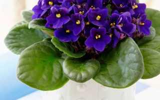 Фиалка узамбарская (сенполия): родина растения, фото сортов с названиями, посадка и уход в домашних условиях
