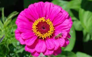 Циния выращивание из семян: когда сажать в открытый грунт и посадка рассады в домашних условиях