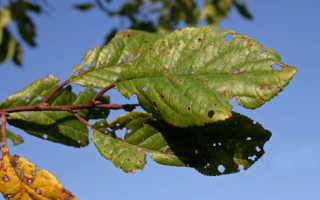 Меры борьбы с клястероспориозом косточковых: лечение абрикоса, вишни, сливы, персика, черешни