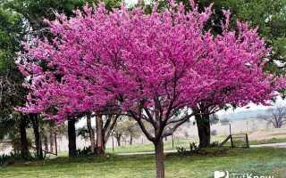 Багрянник японский или круглолистник: посадка и уход, фото растения