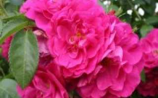 Канадские парковые розы: сорта с фото и описаниями, отзывы о сортах
