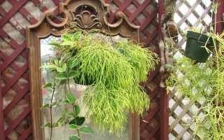 Кактус рипсалис: фото, уход в домашних условиях, виды (кассута, волосовидный, пилокарпа), размножение