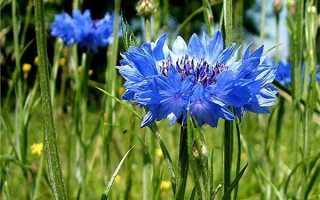Василек обычный и махровый: фото цветов, лучшие сорта, особенности выращивания