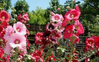Шток-роза: виды, сорта, фото, названия, применение в ландшафтном дизайне