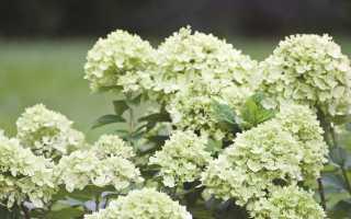 Метельчатая гортензия Литл Лайм: описание, фото, посадка и уход, размножение Hydrangea paniculata Little Lime