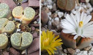 Литопсы (живые камни): фото, уход в домашних условиях, выращивание из семян, виды, размножение