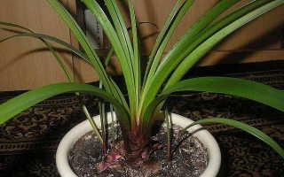 Валлота: уход и выращивание в домашних условиях, размножение, фото видов прекрасная и пурпурная