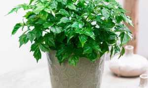 Радермахера: уход в домашних условиях, фото цветка, размножение radermachera