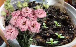 Эустома многолетняя (лизиантус): фото, выращивание из семян, посадка и уход в домашних условиях