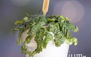 Пеперомия арбузная: фото,уход в домашних условиях, где купить семена, размножение черенками
