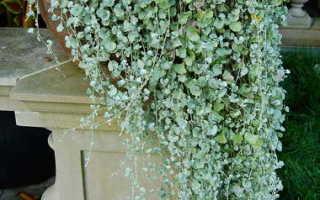 Дихондра (изумрудный, серебряный водопад): выращивание из семян, посадка и уход дома, фото, когда сажать