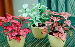 Гипоэстес: фото, уход в домашних условиях, выращивание из семян