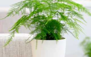 Комнатный цветок аспарагус: уход в домашних условиях, виды и фото, размножение из семян