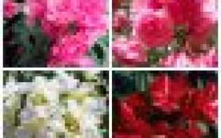 Цветок олеандр: фото (обыкновенный, комнатный), уход в домашних условиях, выращивание в открытом грунте, размножение черенками