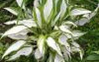 Хосты в саду: применение хост в ландшафтном дизайне на фото