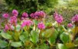 Бадан: фото, выращивание, посадка и уход в открытом грунте