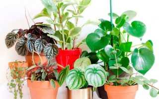 Пеперомия: виды, фото и названия, уход в домашних условиях, размножение листом и черенками, польза для дома