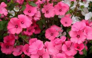 Лаватера (Lavatera) : фото цветов, выращивание из семян, когда сажать, посадка и уход в открытом грунте