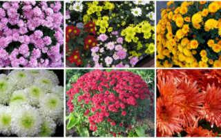Хризантемы многолетние: сорта на фото, посадка, уход в открытом грунте, обрезка, размножение