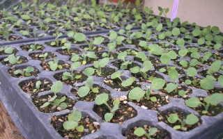 Меконопсис (гималайские маки): выращивание из семян, посадка и уход