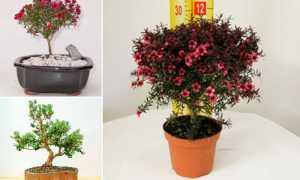 Лептоспермум (тонкосемянник): уход в домашних условиях, фото, leptospermum scoparium (манука), lanigerum, nitens