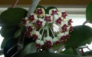 Цветок хойя керри: фото, уход в домашних условиях, как пересаживать, цветение, размножение из листа