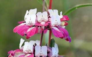 Коллинсия разнолистная: травянистое растение для открытого грунта