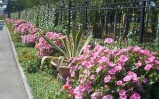 Лаватера выращивание из семян в домашних условиях: когда сажать семена, уход за посевами, высадка в грунт