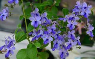 Клеродендрум угандийский: уход в домашних условиях, фото, размножение черенками, цветы