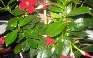 Мандевилла (дипладения): выращивание и уход в домашних условиях, размножение, фото цветка