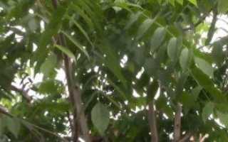 Орех маньчжурский: фото, посадка, уход, выращивание в Подмосковье и Сибири