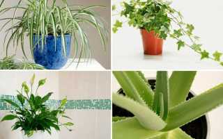 Лечебные лекарственные комнатные растения: фото и названия, описание, применение