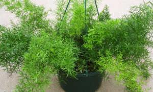 Аспарагус Шпренгера (густоцветковый): уход в домашних условиях, фото, выращивание из семян, размножение