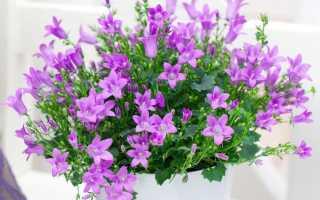 Цветок кампанула (жених и невеста): уход в домашних условиях после покупки, фото, посадка, размножение