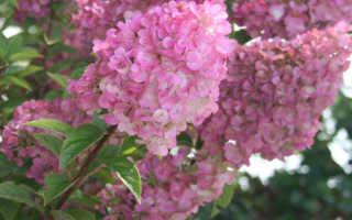 Гортензия метельчатая Сандей Фрайз: описание, фото Sundae Fraise, отзывы, посадка и уход