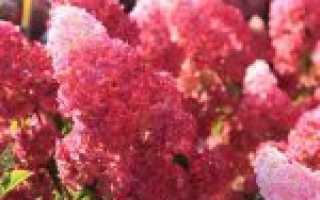 Гортензия Фрайз Мельба: описание и фото, отзывы, посадка и уход за fraize melba