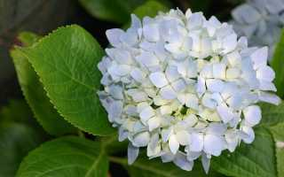 Гортензия голубая: фото, сорта, посадка и уход, как сделать гортензию голубой, чем поливать для синего света