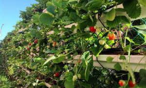 Высокие грядки для клубники: финская технология выращивания, как сделать своими руками, фото