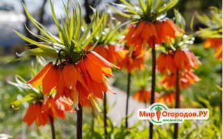 Рябчики: посадка и уход, цветы на фото и в ландшафтном дизайне