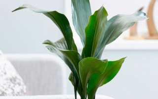 Аспидистра высокая: уход в домашних условиях, как цветет, фото сортов