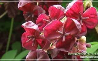 Акебия, шоколадная лиана для средней полосы: выращивание и уход на даче Подмосковья