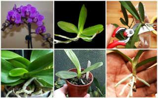 Размножение орхидей черенками в домашних условиях: фото, видео, пошаговое руководство