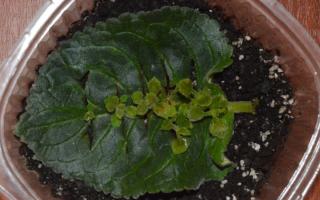 Глоксиния: размножение листом в домашних условиях, пошаговый рецепт, видео, фото, когда появятся ростки
