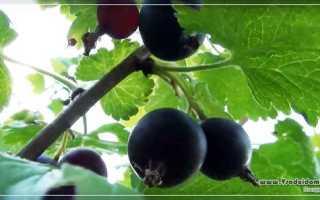 Йошта: посадка, уход и размножение растения, фото и видео советы