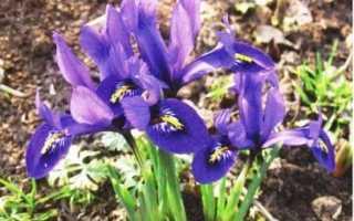 Иридодиктиум (луковичные ирисы): фото и названия, посадка и уход в открытом грунте