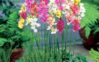 Иксия: фото цветка, посадка и уход в открытом грунте в саду, выращивание из клубнелуковиц