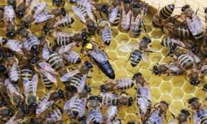 Пчела Карпатка: описание породы с фото, характеристика, особенности карпатской пчелы, отзывы