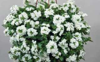 Вербена (verbena) – голубиная, железная, чугунная трава: посадка и уход, фото цветов на клумбе, выращивание ампельных видов